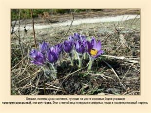 Опушки, поляны сухих сосняков, пустоши на месте сосновых боров украшает прост