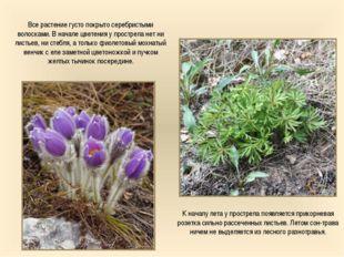 Все растение густо покрыто серебристыми волосками. В начале цветения у простр