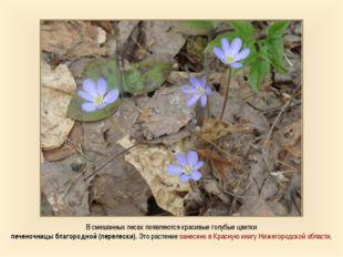 В смешанных лесах появляются красивые голубые цветки печеночницы благородной