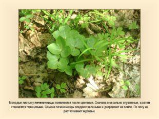 Молодые листья у печеночницы появляются после цветения. Сначала они сильно оп