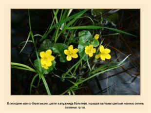 В середине мая по берегам рек цветет калужница болотная, украшая желтыми цвет