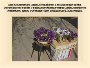 Многие весенние цветы страдают от массового сбора. Особенности роста и развит
