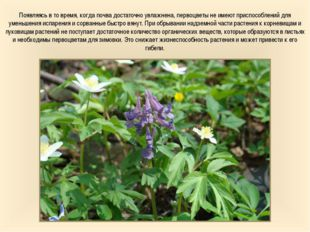 Появляясь в то время, когда почва достаточно увлажнена, первоцветы не имеют п