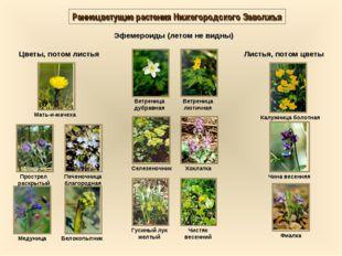 Раннецветущие растения Нижегородского Заволжья Эфемероиды (летом не видны) Цв
