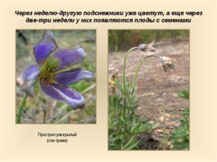 Через неделю-другую подснежники уже цветут, а еще через две-три недели у них