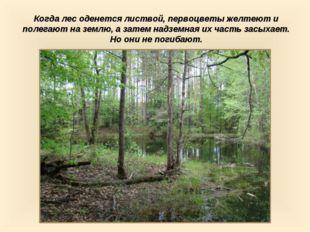 Когда лес оденется листвой, первоцветы желтеют и полегают на землю, а затем н