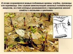 В почве сохраняются живые подземные органы: клубни, луковицы или корневища. О