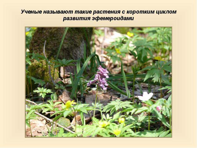 Ученые называют такие растения с коротким циклом развития эфемероидами