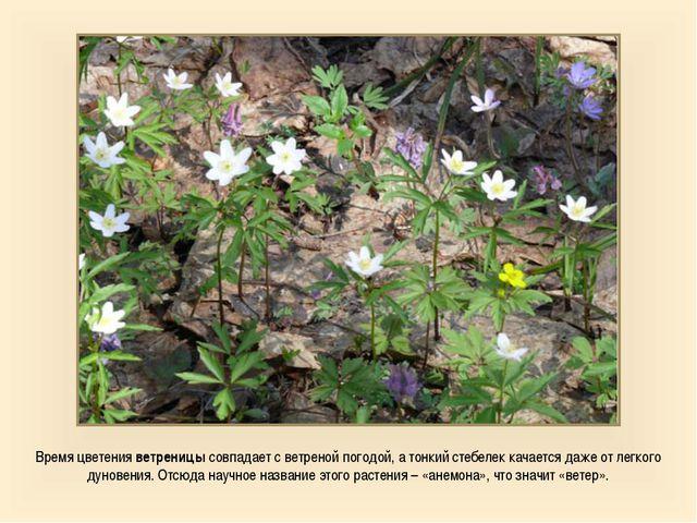 Время цветения ветреницы совпадает с ветреной погодой, а тонкий стебелек кача...