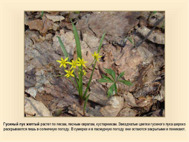 Гусиный лук желтый растет по лесам, лесным оврагам, кустарникам. Звездчатые ц...