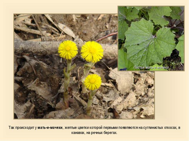 Так происходит у мать-и-мачехи, желтые цветки которой первыми появляются на с...