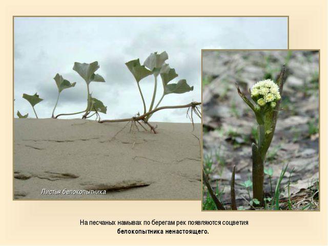 На песчаных намывах по берегам рек появляются соцветия белокопытника ненастоя...