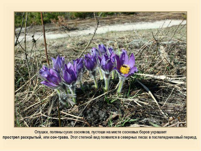 Опушки, поляны сухих сосняков, пустоши на месте сосновых боров украшает прост...