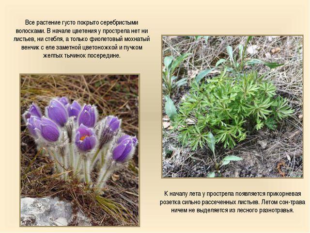 Все растение густо покрыто серебристыми волосками. В начале цветения у простр...