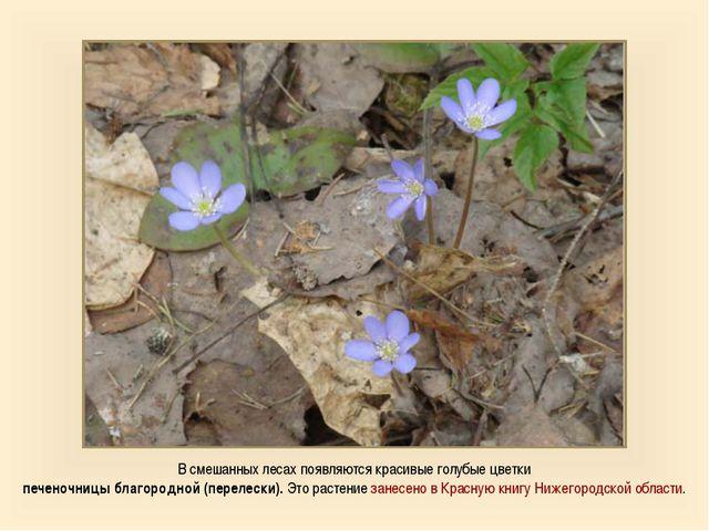 В смешанных лесах появляются красивые голубые цветки печеночницы благородной...