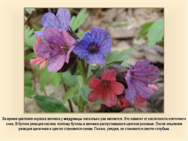 За время цветения окраска венчика у медуницы несколько раз меняется. Это зави...