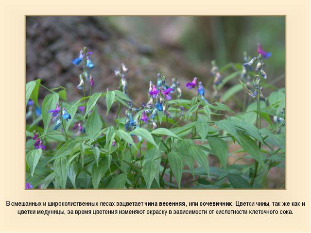 В смешанных и широколиственных лесах зацветает чина весенняя, или сочевичник....
