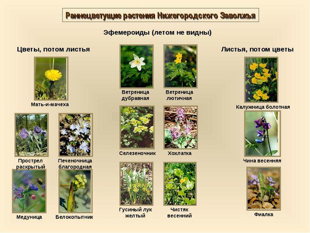 Раннецветущие растения Нижегородского Заволжья Эфемероиды (летом не видны) Цв...