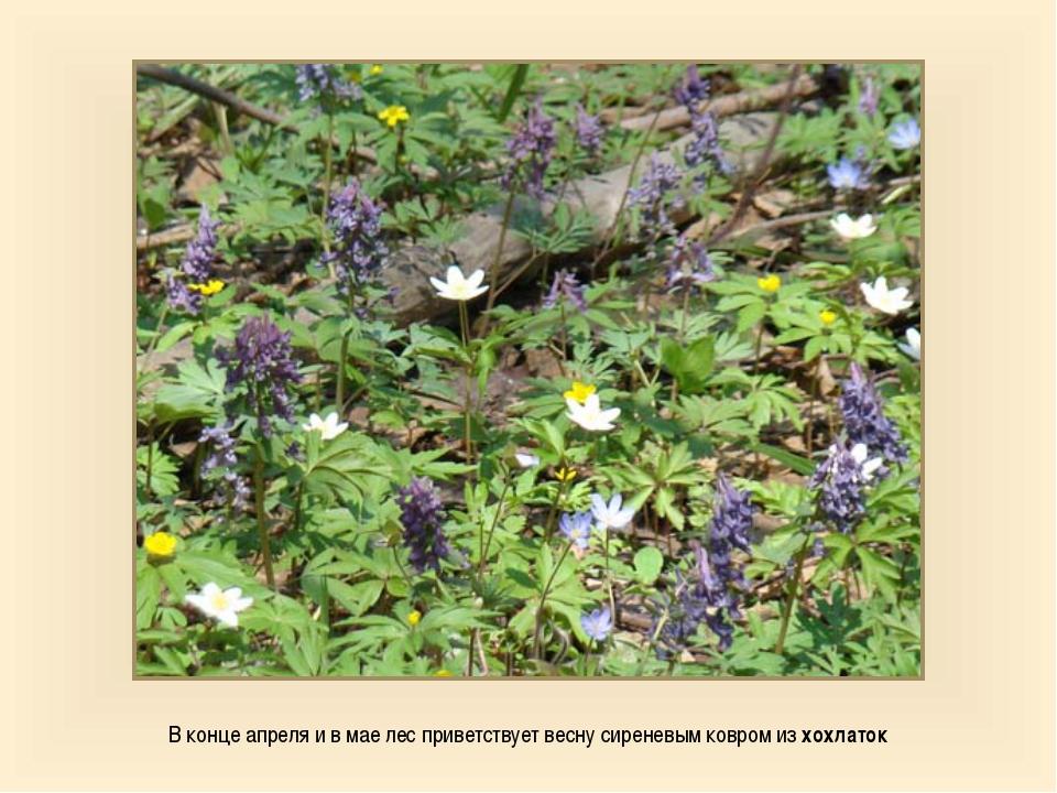 В конце апреля и в мае лес приветствует весну сиреневым ковром из хохлаток