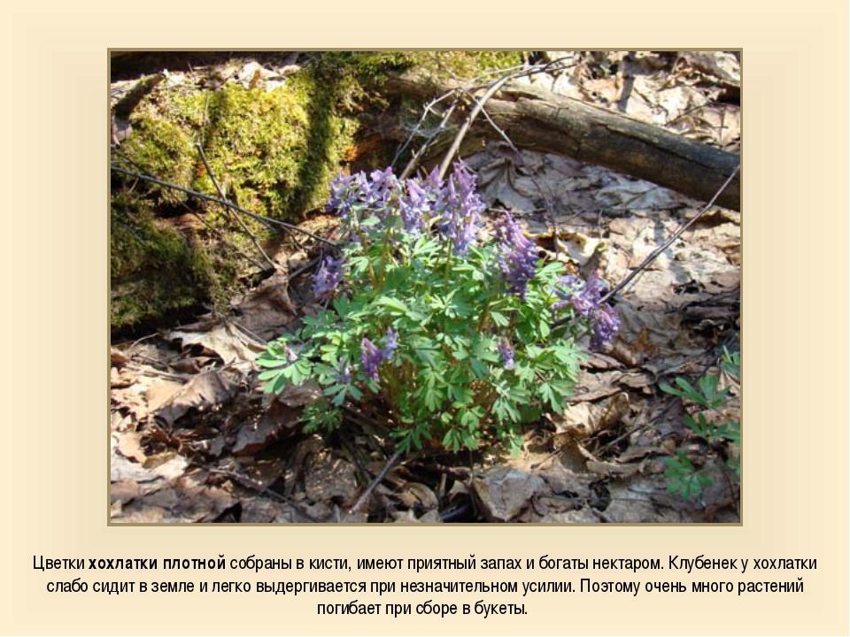 Цветки хохлатки плотной собраны в кисти, имеют приятный запах и богаты нектар...