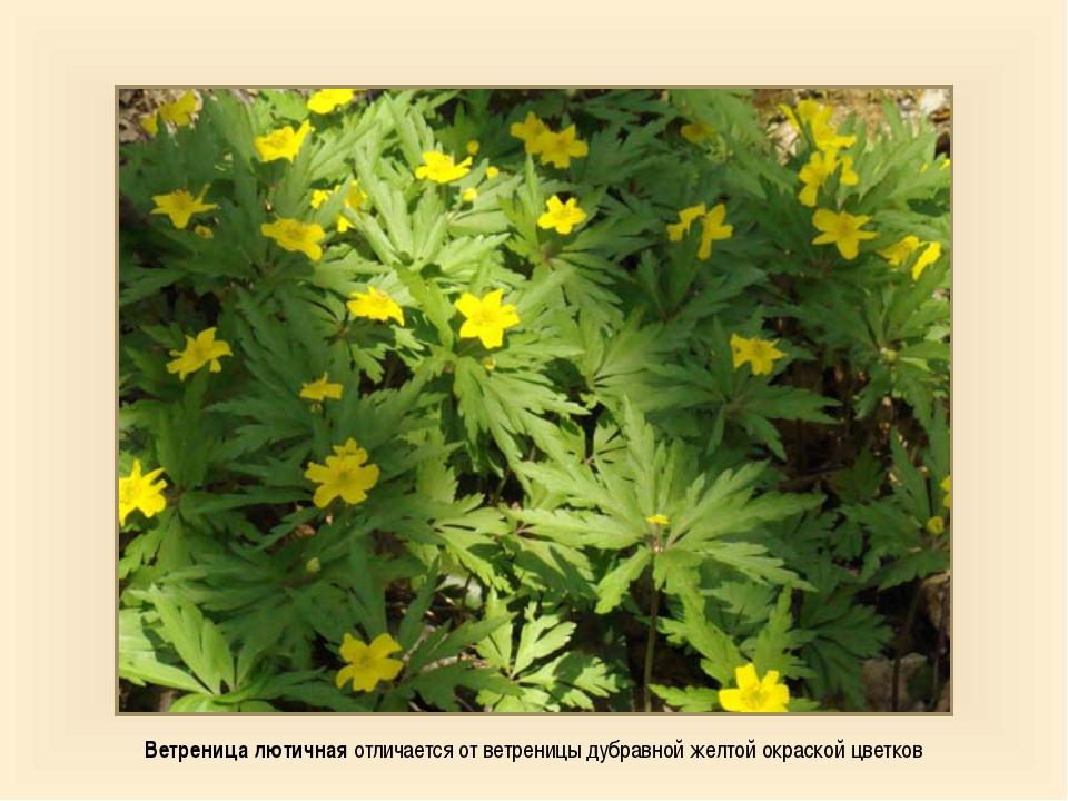Ветреница лютичная отличается от ветреницы дубравной желтой окраской цветков