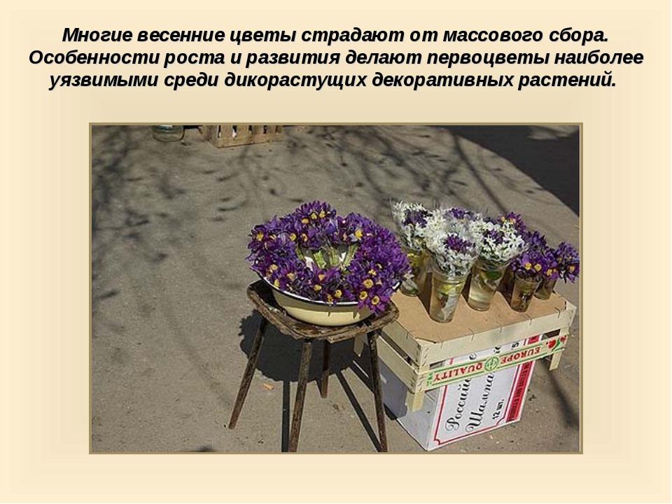 Многие весенние цветы страдают от массового сбора. Особенности роста и развит...