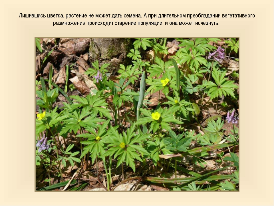 Лишившись цветка, растение не может дать семена. А при длительном преобладани...