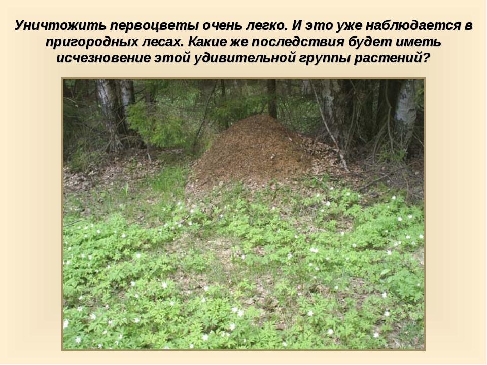 Уничтожить первоцветы очень легко. И это уже наблюдается в пригородных лесах....