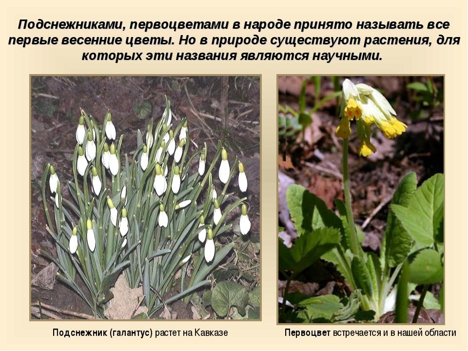 Первоцвет встречается и в нашей области Подснежник (галантус) растет на Кавка...