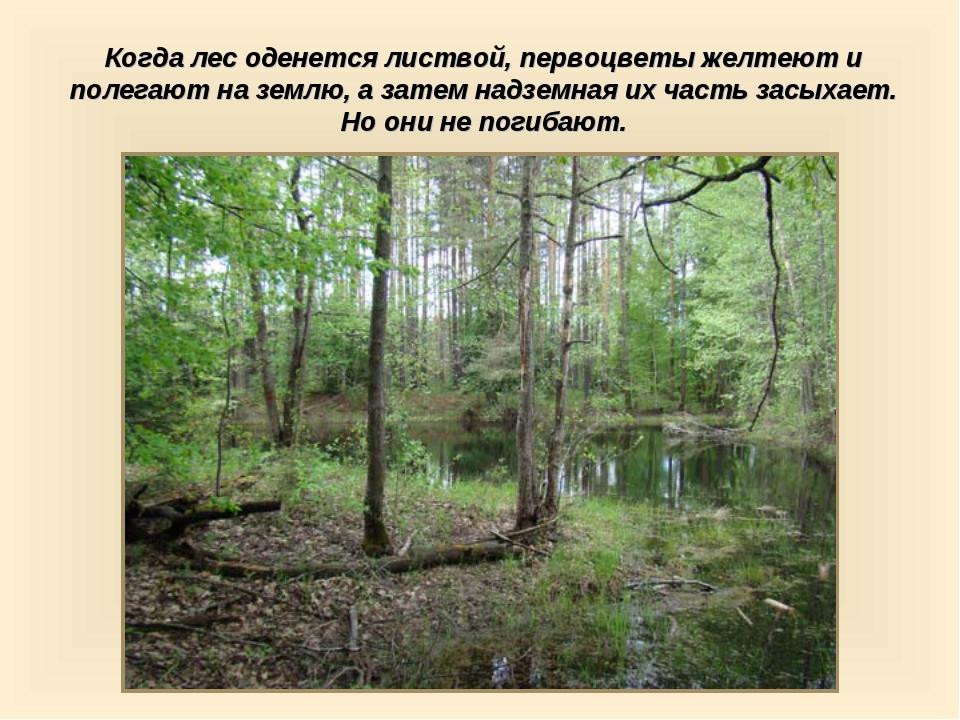 Когда лес оденется листвой, первоцветы желтеют и полегают на землю, а затем н...