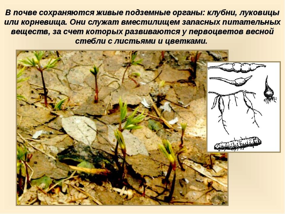 В почве сохраняются живые подземные органы: клубни, луковицы или корневища. О...