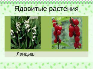 Ядовитые растения Ландыш