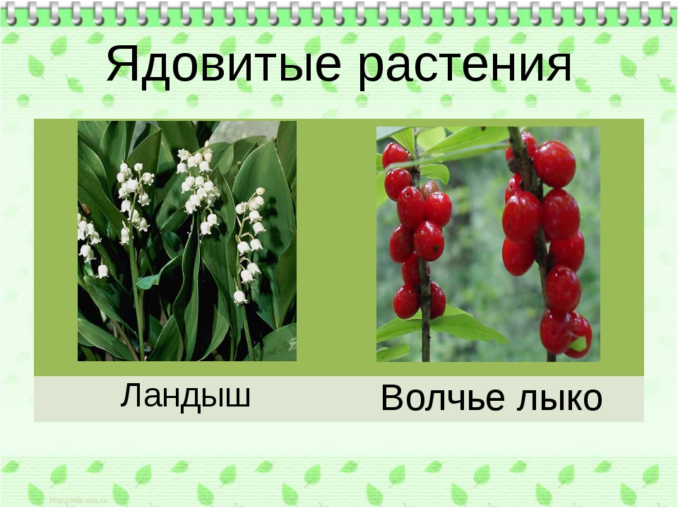 Ядовитые растения Ландыш Волчье лыко