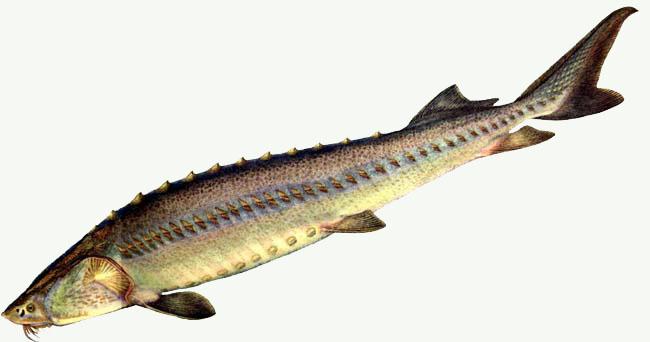 http://www.fishing.kz/images/stories/fishes/osetrsib.jpg