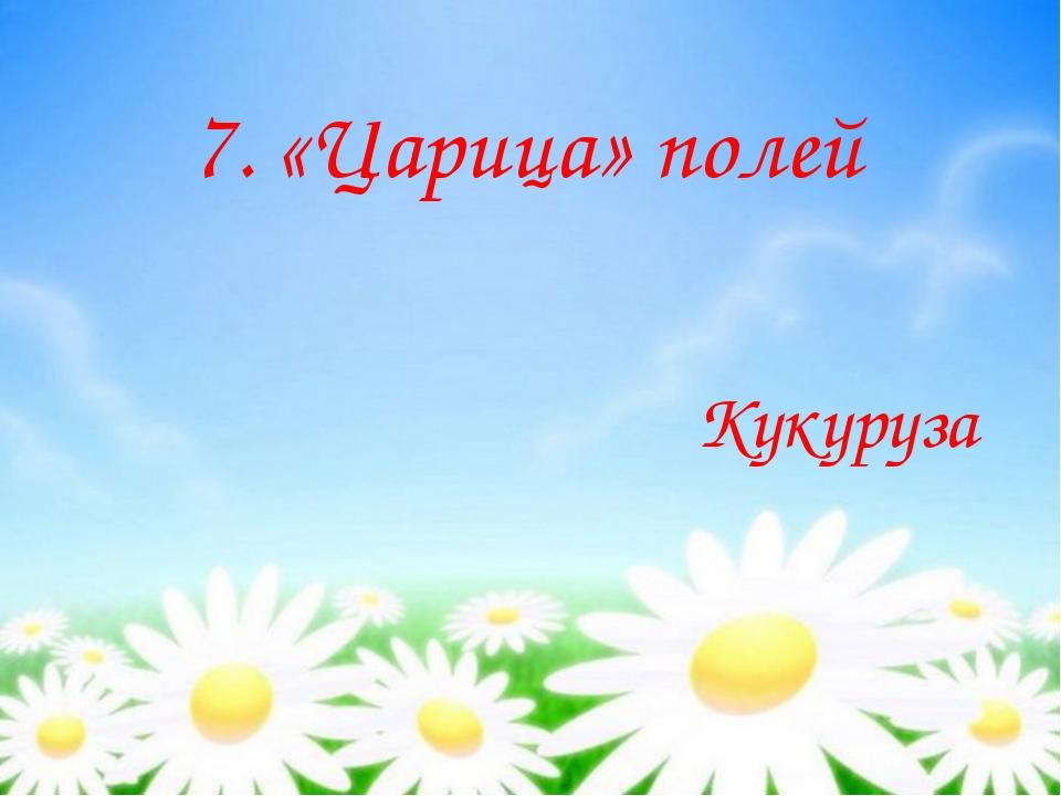7. «Царица» полей Кукуруза