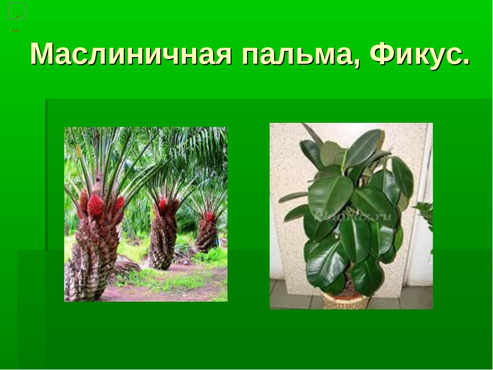 Маслиничная пальма, Фикус.