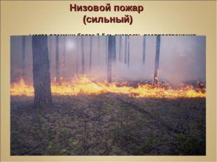 Низовой пожар (сильный) Высота пламени более 1,5 м, скорость распространения