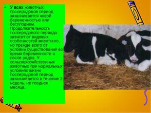 У всех животных послеродовой период заканчивается новой беременностью или бес
