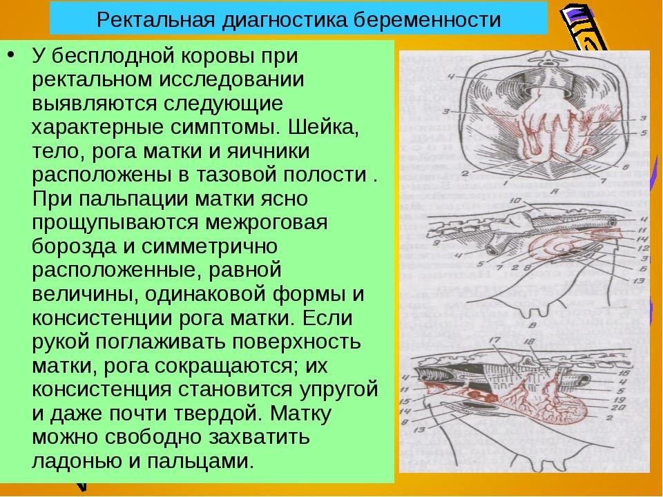 Ректальная диагностика беременности У бесплодной коровы при ректальном исслед...