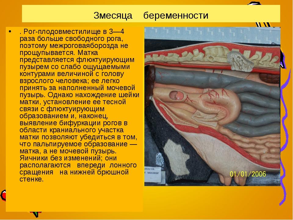 3месяца беременности . Рог-плодовместилище в 3—4 раза больше свободного рога,...