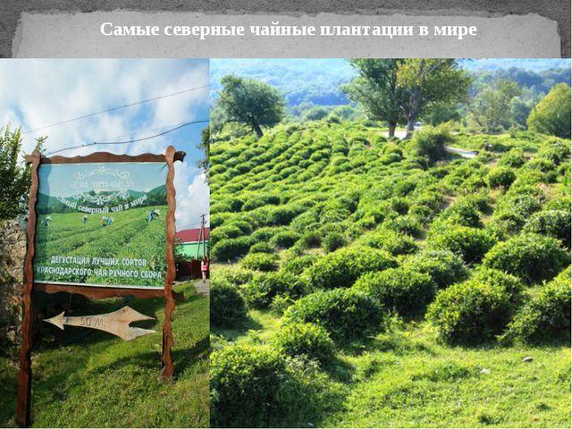 Самые северные чайные плантации в мире