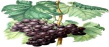 рус виноград 3.jpg