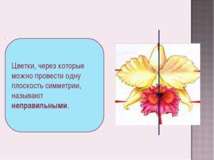 Цветки, через которые можно провести одну плоскость симметрии, называют непра