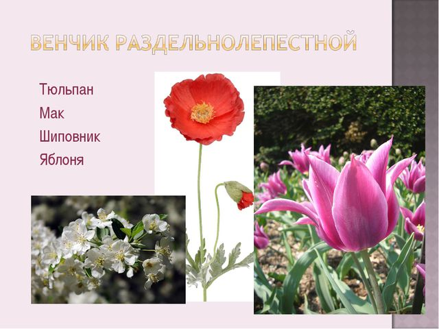 Тюльпан Мак Шиповник Яблоня