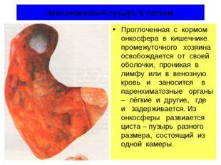 Эхинококковый пузырь в легком. Проглоченная с кормом онкосфера в кишечнике пр