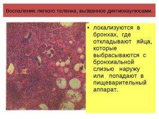 Воспаление легкого теленка, вызванное диктиокаулюсами. локализуются в бронхах