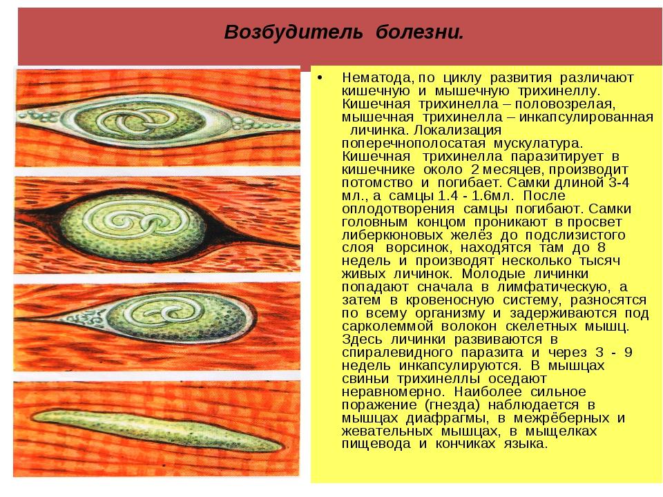 Возбудитель болезни. Нематода, по циклу развития различают кишечную и мышечн...