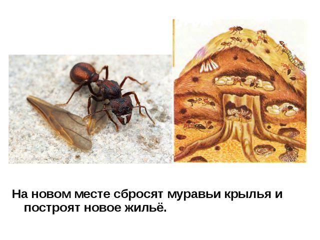 На новом месте сбросят муравьи крылья и построят новое жильё.