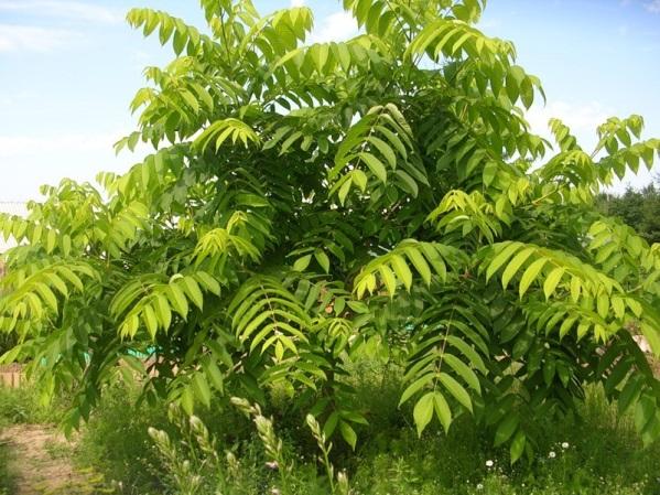 http://ecoflora.moscow/wp-content/uploads/2012/07/oreh-manchjurskii-11.jpg