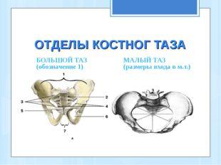 ОТДЕЛЫ КОСТНОГ ТАЗА БОЛЬШОЙ ТАЗ (обозначение 1) МАЛЫЙ ТАЗ (размеры входа в м.